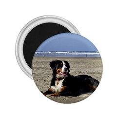 Bernese Mountain Dog Laying On Beach 2.25  Magnets
