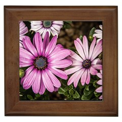 Beautiful Colourful African Daisies  Framed Tiles