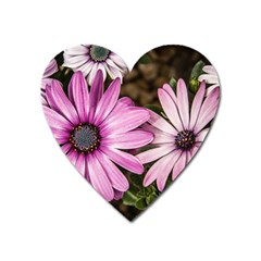 Beautiful Colourful African Daisies  Heart Magnet