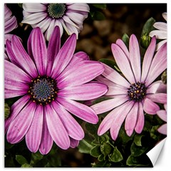 Beautiful Colourful African Daisies  Canvas 20  x 20