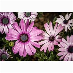 Beautiful Colourful African Daisies  Canvas 24  X 36