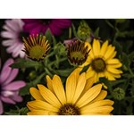 Beautiful Colourful African Daisies  Circle Bottom 3D Greeting Card (7x5)  Front