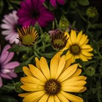 Beautiful Colourful African Daisies  Laugh Live Love 3D Greeting Card (8x4)  Inside