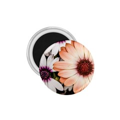 Beautiful Colourful African Daisies 1.75  Magnets