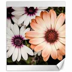 Beautiful Colourful African Daisies Canvas 20  X 24