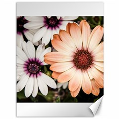 Beautiful Colourful African Daisies Canvas 36  X 48