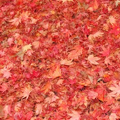 Red Maple Leaves Magic Photo Cubes