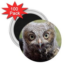 baby screech owl 2.25  Magnets (100 pack)