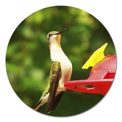 Female Ruby Throated Hummngbird Magnet 5  (Round)