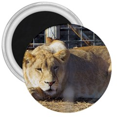 FeMale Lion 3  Magnets