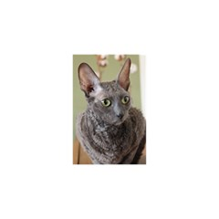 Cornish Rex, Blue YOU ARE INVITED 3D Greeting Card (8x4)