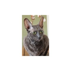 Cornish Rex, Blue Birthday Cake 3D Greeting Card (7x5)