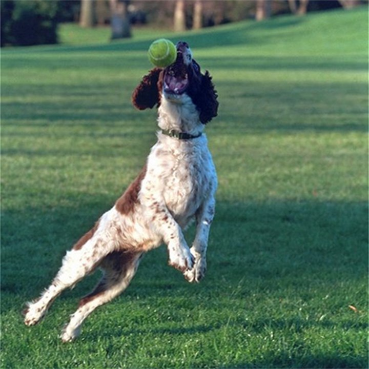 English Springer Catching Ball Magic Photo Cubes