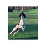 English Springer Catching Ball Ribbon 3D Greeting Card (7x5) Back