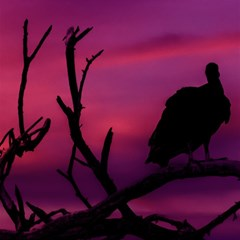 Vultures At Top Of Tree Silhouette Illustration Magic Photo Cubes