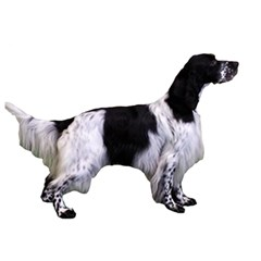 English Setter Full Birthday Cake 3D Greeting Card (7x5)
