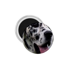 Great Dane harlequin  1.75  Magnets