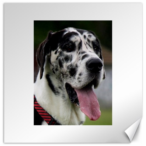 Great Dane harlequin  Canvas 12  x 12
