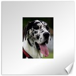 Great Dane harlequin  Canvas 16  x 16   16 x16 Canvas - 1
