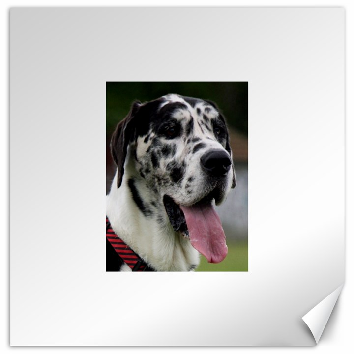 Great Dane harlequin  Canvas 16  x 16