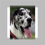 Great Dane harlequin  Mini Canvas 4  x 4  4  x 4  x 0.875  Stretched Canvas