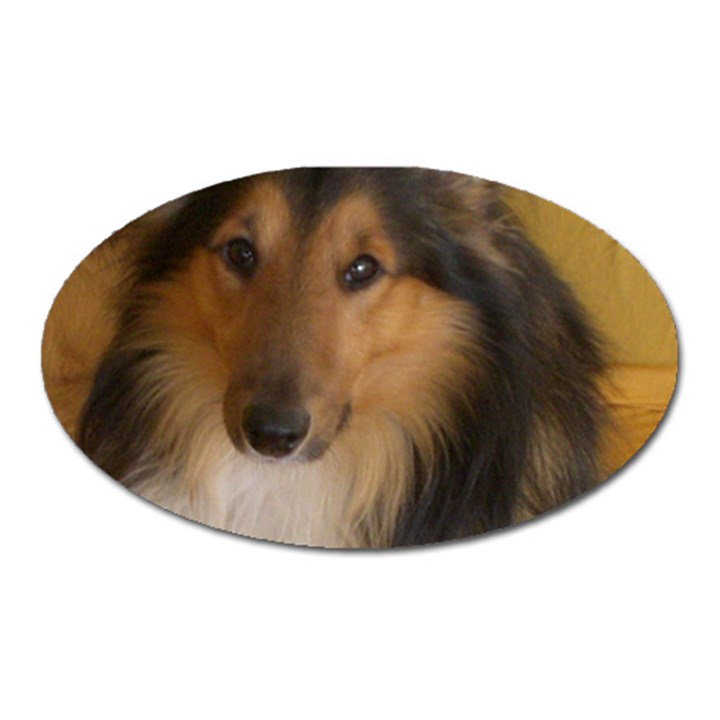 Shetland Sheepdog Oval Magnet