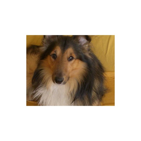 Shetland Sheepdog YOU ARE INVITED 3D Greeting Card (8x4)