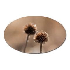 2  Verwelkte Kugeldistel Oval Magnet