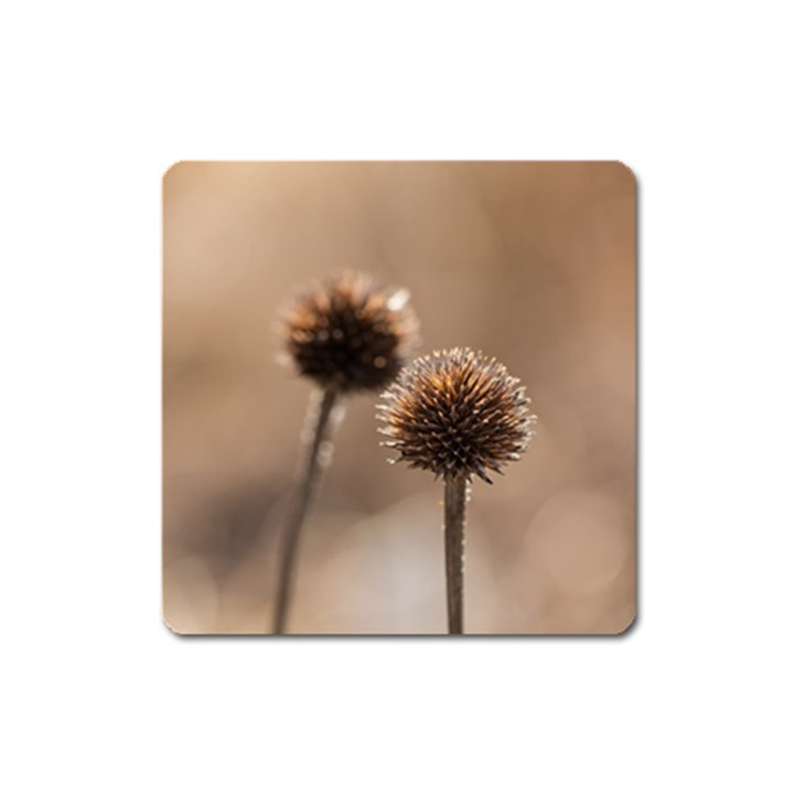 Withered Globe Thistle In Autumn Macro Square Magnet