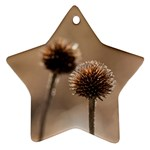 Withered Globe Thistle In Autumn Macro Star Ornament (Two Sides)  Front