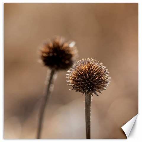 Withered Globe Thistle In Autumn Macro Canvas 12  x 12