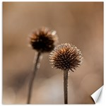 Withered Globe Thistle In Autumn Macro Canvas 16  x 16   16 x16 Canvas - 1