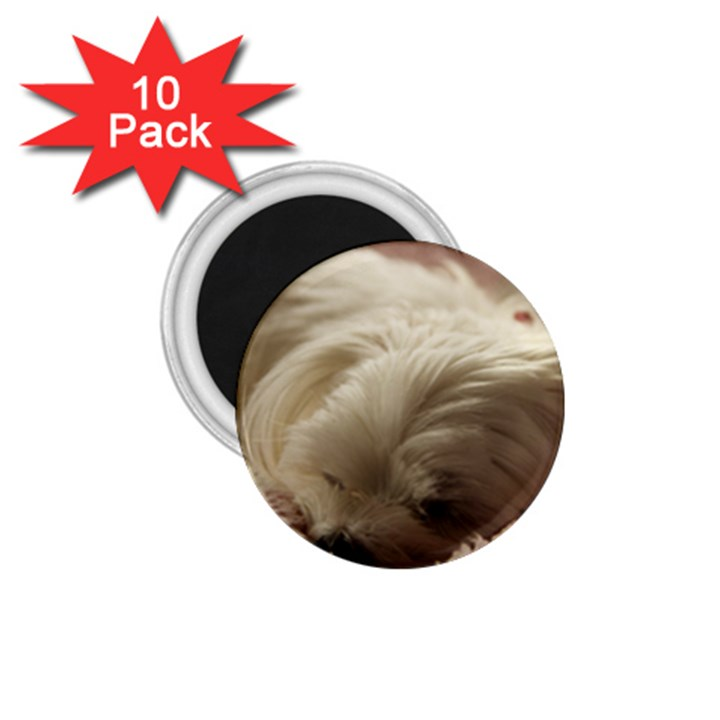 Maltese Sleeping 1.75  Magnets (10 pack)