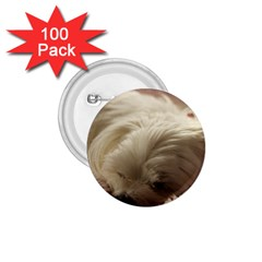 Maltese Sleeping 1.75  Buttons (100 pack)