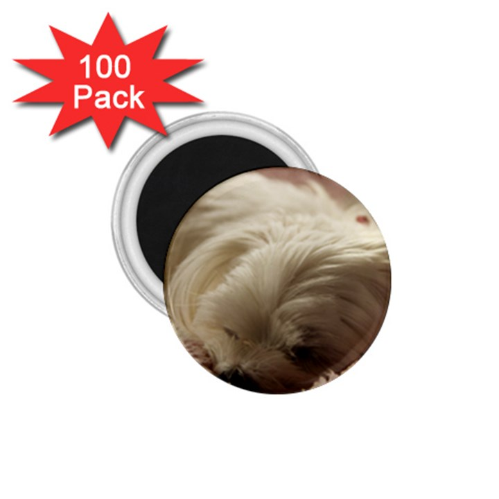 Maltese Sleeping 1.75  Magnets (100 pack)