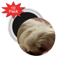 Maltese Sleeping 2.25  Magnets (10 pack)