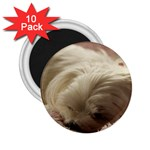 Maltese Sleeping 2.25  Magnets (10 pack)  Front