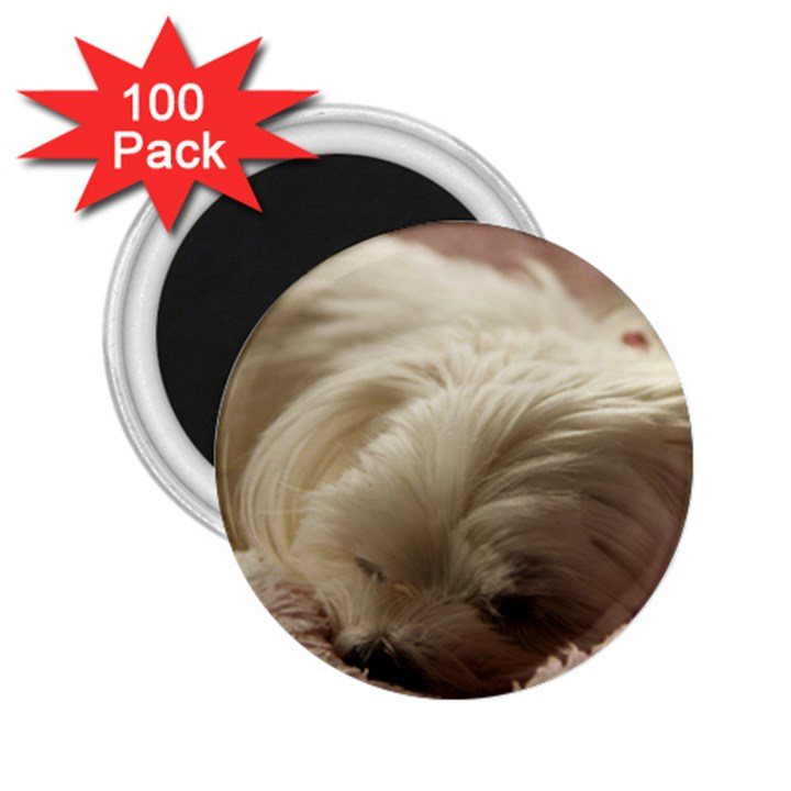 Maltese Sleeping 2.25  Magnets (100 pack)