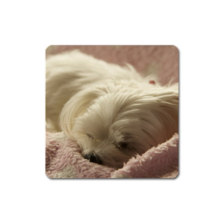 Maltese Sleeping Square Magnet