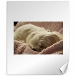 Maltese Sleeping Canvas 8  x 10  10.02 x8 Canvas - 1