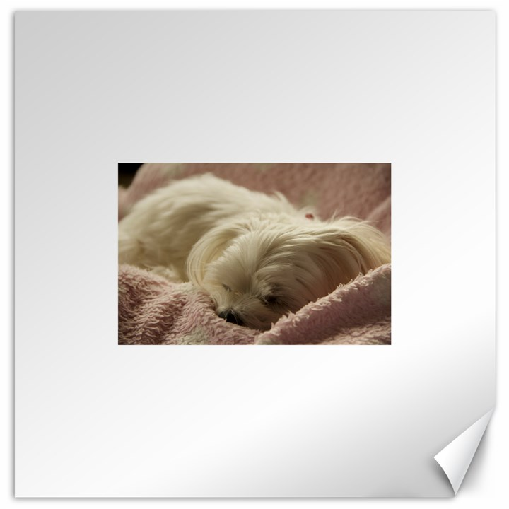 Maltese Sleeping Canvas 12  x 12