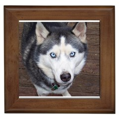 Siberian Husky Blue Eyed Framed Tiles