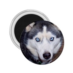 Siberian Husky Blue Eyed 2.25  Magnets