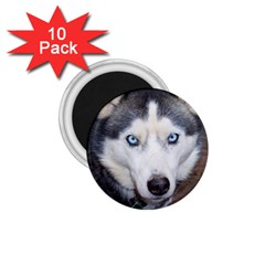 Siberian Husky Blue Eyed 1.75  Magnets (10 pack)
