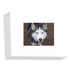 Siberian Husky Blue Eyed 5 x 7  Acrylic Photo Blocks