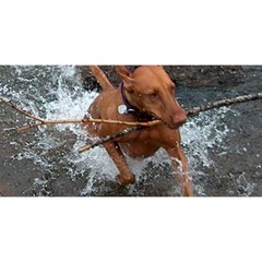 Vizsla Fetching In Water YOU ARE INVITED 3D Greeting Card (8x4)