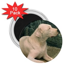 Dogo Argentino Laying  2.25  Magnets (10 pack)