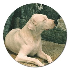 Dogo Argentino Laying  Magnet 5  (Round)