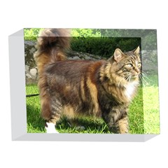 Norwegian Forest Cat Full  5 x 7  Acrylic Photo Blocks