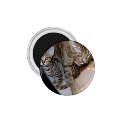 Ocicat Tawny Kitten With Cinnamon Mother  1.75  Magnets